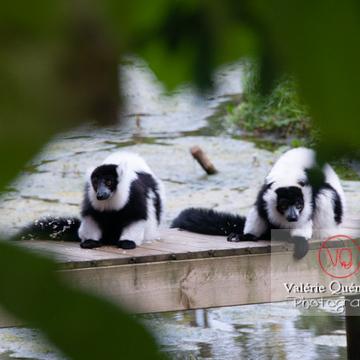 Maki varié noir & blanc / Zoo de Trégomeur / Bretagne - Réf : VQA1-60-0025 (Q2)