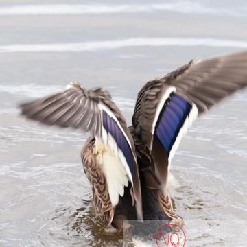 Battement d'ailes de canard colvert femelle - réf : VQA22-0028 (Q2)