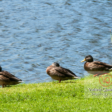 Trio de canards colvert mâle - réf : VQA22-0034 (Q2)