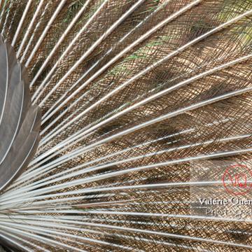 Détail plumes d'un paon mâle faisant la roue - Réf : VQA23-0011 (Q1)