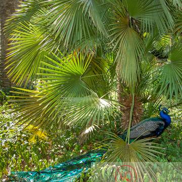 Paon mâle à l'ombre d'un palmier - Réf : VQA23-0020 (Q1)