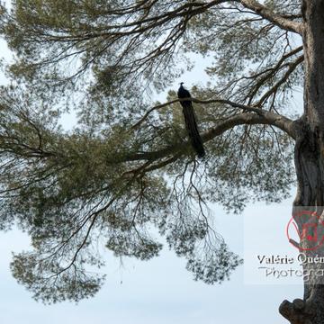 Paon mâle perché sur un arbre - Réf : VQA23-0021 (Q1)