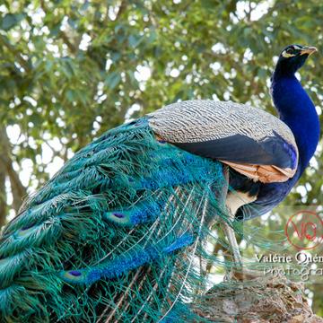 Paon mâle perché - Réf : VQA23-0022 (Q1)
