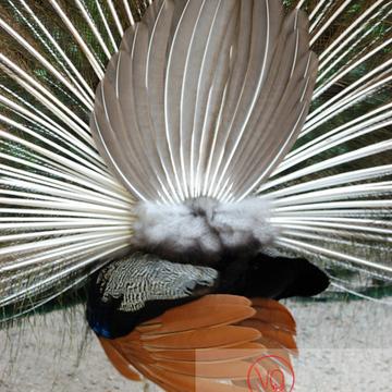 Détail arrière ramage d'un paon mâle faisant la roue - Réf : VQA23-0024 (Q1)