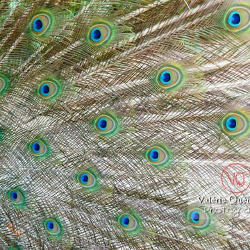 Détail plumes d'un paon mâle faisant la roue - Réf : VQA23-0026 (Q1)