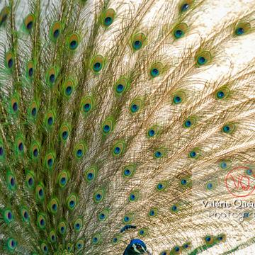 Détail plumes de paon mâle faisant la roue - Réf : VQA23-0028 (Q1)
