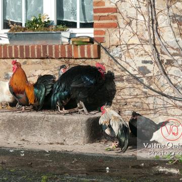 Coq 'gauloise dorée' et poules - Réf : VQA23-0035 (Q2)