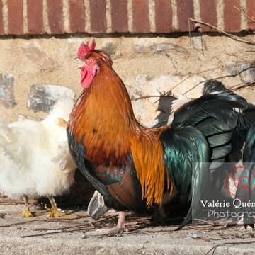 Coq 'gauloise dorée' et poules - Réf : VQA23-0036 (Q2)