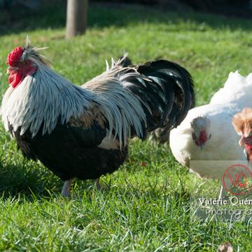 Coq faverolle & poules - Réf : VQA23-0052 (Q2)