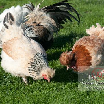 Poule dont poule de Bourbourg - Réf : VQA23-0056 (Q2)