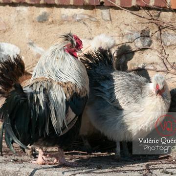 Coq faverolle et poule - Réf : VQA23-0068 (Q2)