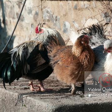Coq faverolle & poules - Réf : VQA23-0069 (Q2)