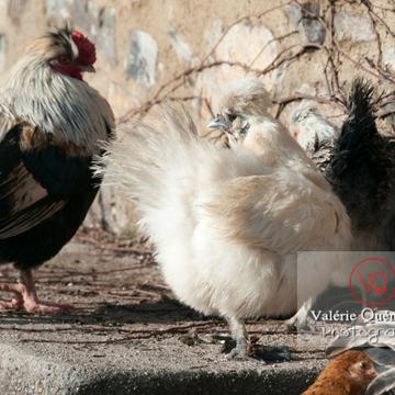 Coq faverolle & poules - Réf : VQA23-0070 (Q2)