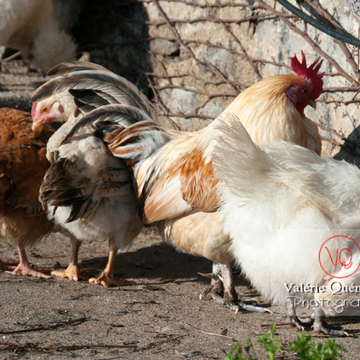 Coq & poules - Réf : VQA23-0071 (Q2)