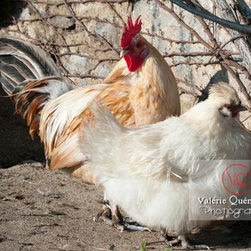 Coq & poule blanche - Réf : VQA23-0072 (Q2)