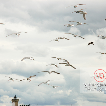 Vol de goélands argentés - Réf : VQA26-0027 (Q1)