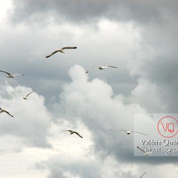 Vol de goélands argentés - Réf : VQA26-0030 (Q1)