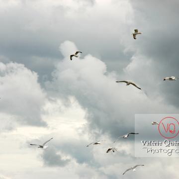 Vol de goélands argentés - Réf : VQA26-0032 (Q1)