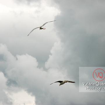 Vol de goélands argentés - Réf : VQA26-0034 (Q1)