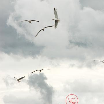 Vol de goélands argentés - Réf : VQA26-0037 (Q1)