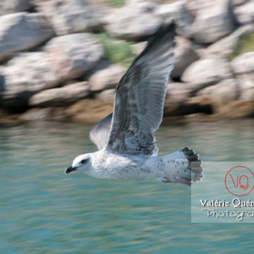 Jeune goélands argentés en vol - Réf : VQA26-0038 (Q2)