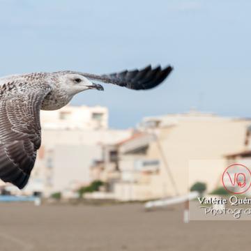 Jeune goéland argenté en vol - Réf : VQA26-0040 (Q2)
