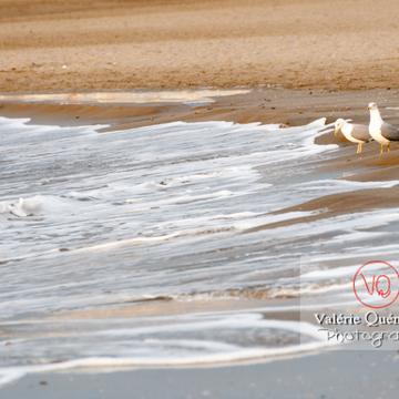 Goélands argentés au bord des vagues - Réf : VQA26-0043 (Q2)