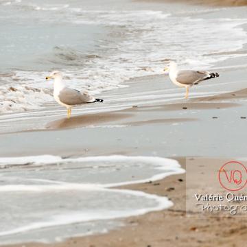 Goélands argentés au bord des vagues - Réf : VQA26-0045 (Q2)