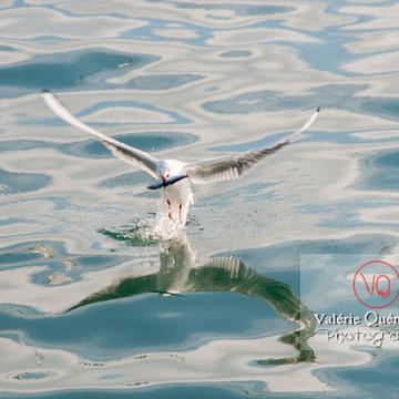 Mouette argentée pêchant un poisson - réf : VQA26-0048 (Q2)