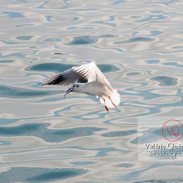 Mouette argentée pêchant un poisson - réf : VQA26-0049 (Q2)