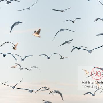 Mouettes argentées - réf : VQA26-0050 (Q2)