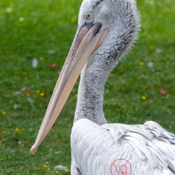 Pélican frisé / Zoo de Trégomeur - Réf : VQA27-0011 (Q2)