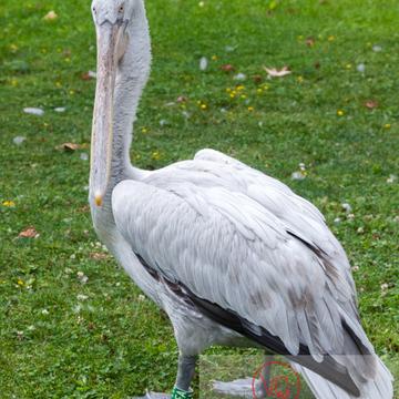 Pélican frisé / Zoo de Trégomeur - Réf : VQA27-0012 (Q2)