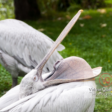 Pélican frisé / Zoo de Trégomeur - Réf : VQA27-0015 (Q2)