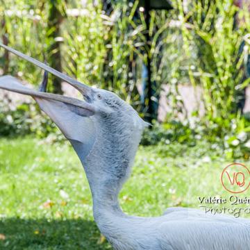 Pélican frisé / Zoo de Trégomeur - Réf : VQA27-0016 (Q2)