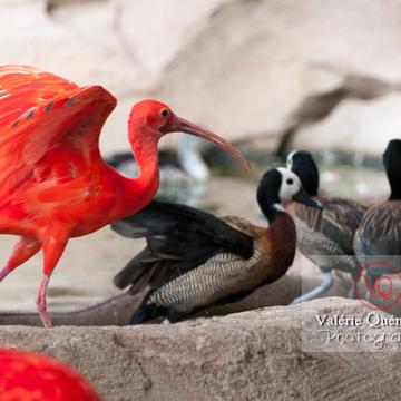 Ibis rouge / Zoo de Montpellier - Réf : VQA27-0019 (Q2)
