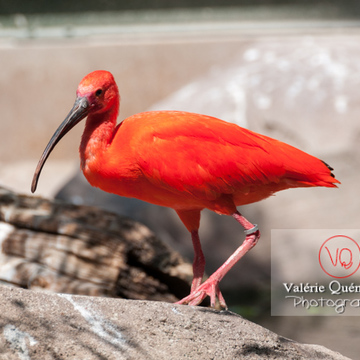 Ibis rouge / Zoo de Montpellier - Réf : VQA27-0021 (Q2)