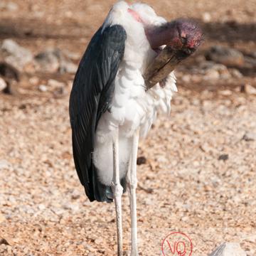 Marabout / Zoo de Montpellier - Réf : VQA27-0022 (Q2)