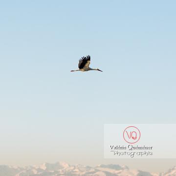 Cigogne en vol - réf : VQA27-0026 (Q3 rec)