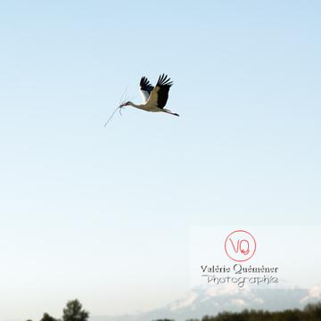 Cigogne transportant une brindille - réf : VQA27-0028 (Q3 rec)