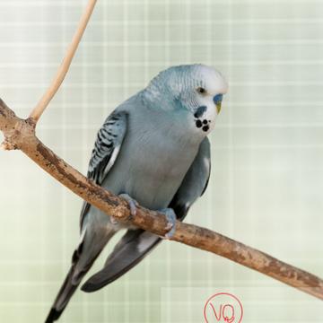 Perruche ondulée - Réf : VQA29-0021 (Q2)