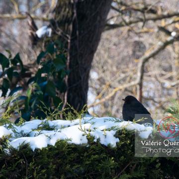 Merle noir - Réf : VQA29-0024 (Q2)