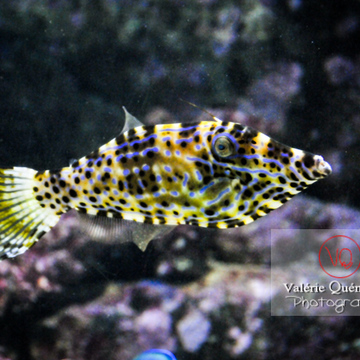 Poisson-lime gribouillé / Aquarium de Paris - Réf : VQA5-0010 (Q3)