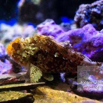 Rascasse brune / Aquarium de Monaco - Réf : VQA5-0132 (Q3)