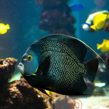 Poisson-ange français et poissons-chirurgien / Aquarium de Monaco - Réf : VQA5-0137 (Q3)