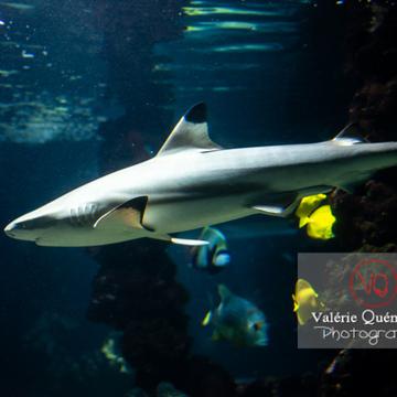 Requin à pointe noir / Aquarium de Monaco - Réf : VQA5-0138 (Q3)