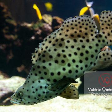 Mérou bossu / Aquarium Monaco - Réf : VQA5-0142 (Q3)
