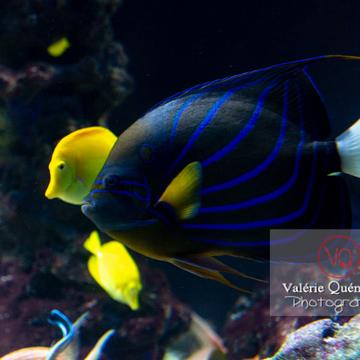 Poisson-ange à anneau et poissons-chirurgien / Aquarium de Monaco - Réf : VQA5-0144 (Q3)
