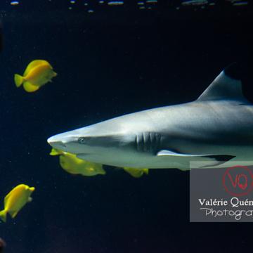 Requin à pointe noir et poissons-chirurgien / Aquarium de Monaco - Réf : VQA5-0145 (Q3)