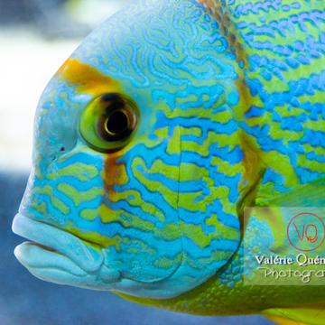 Vivaneau voilier / Aquarium de Monaco - Réf : VQA5-0146. (Q3)